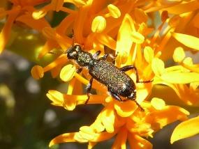 Beetle 36