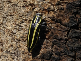 Cyrioides vittigera, striped banksia beetle