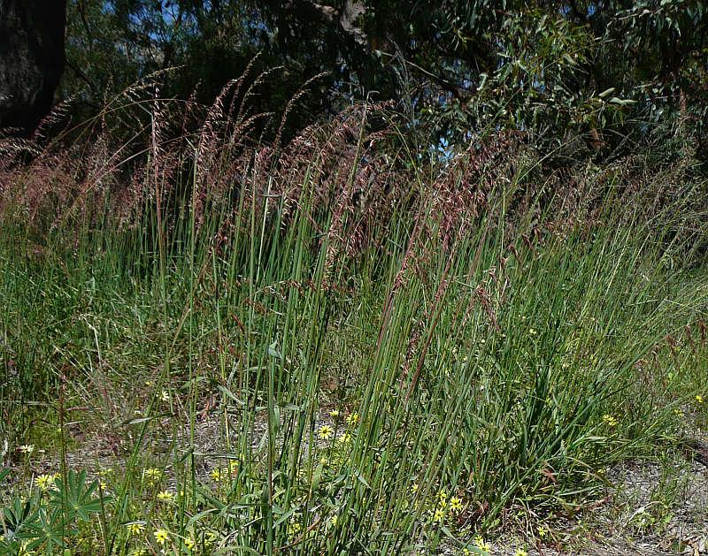 identifying grasses