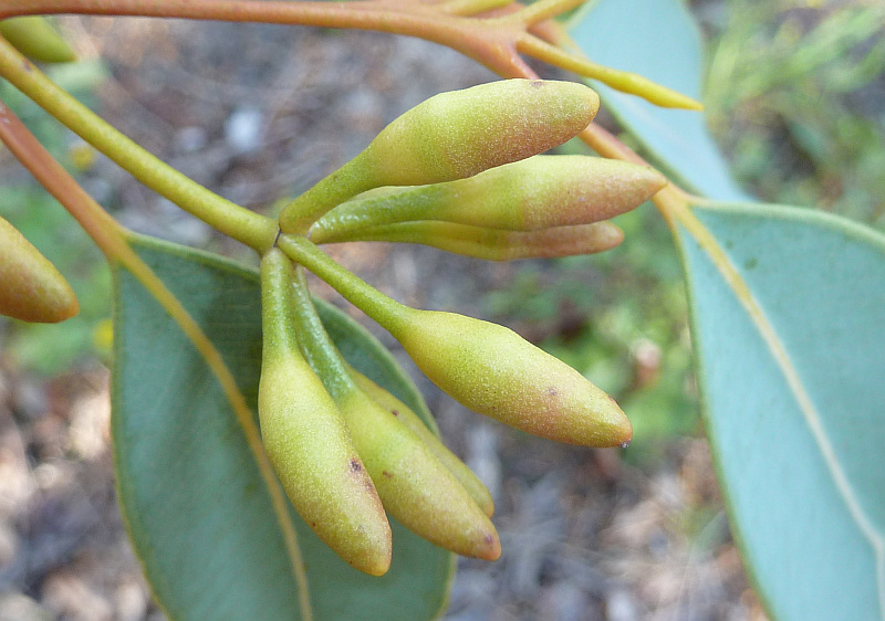 Eucalyptus Marginatafriends Of Queens Park Bushland