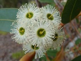 Eucalyptus marginata