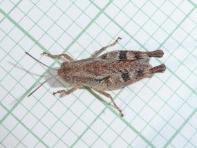 Grasshopper 21