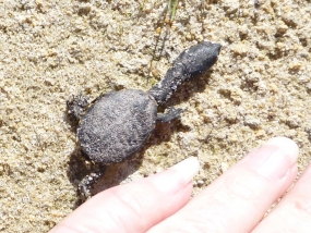 Very young southwestern snake-necked turtle