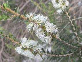 Melaleuca lanceolata