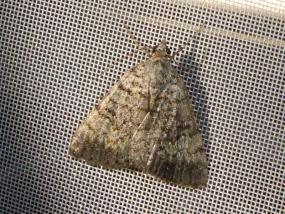 Moth 60