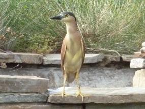 Nankeen Night-heron