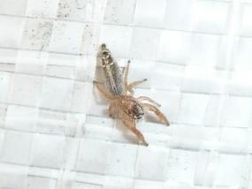 Salticidae sp 4