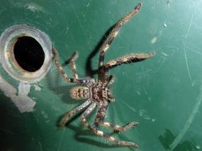 Sparassidae sp 1