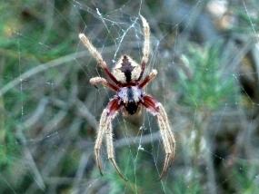 Spider 59