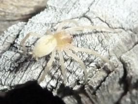Spider 62