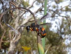 Wasp 21