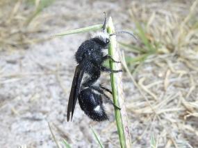 Ephutomorpha formicaria