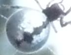 Argyrodes antipodianus