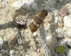 Beefly 5