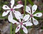 Burchardia multiflora; Milkmaids