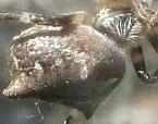 Eriophora pustulosa
