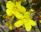Hibbertia racemosa