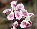 Silene gallica variety quinquevulnera