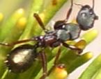 Camponotus chalceus
