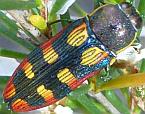 Castiarina pallidiventris