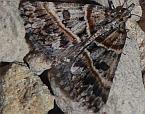 Dichromodes orthozona