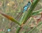 Ischnura heterosticta, Common Bluetail