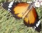 Lesser Wanderer, Danaus petilia
