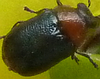 Loxopleurus obtusus
