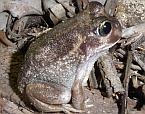 Marbled Burrowing Frog, Heleioporus psammophilus