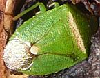 Ocirrhoe unimaculata