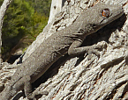 Spiny-tailed Gecko