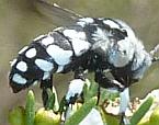 Thyreus waroonensis
