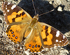 Vanessa kershawi, Painted Lady Butterfly
