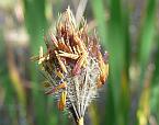 Amphipogon turbinatus