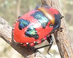 Choerocoris paganus