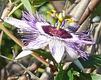 Passiflora filamentosa