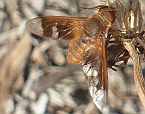 Beefly 7