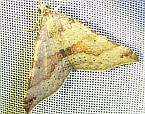 Anachloris uncinata