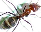Ant 6