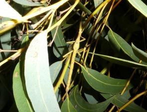 Podacanthus keyi