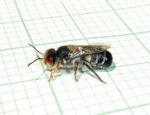 Megachile aurifrons