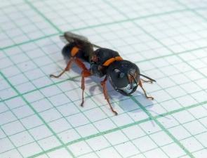 Wasp 25