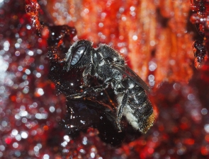 Megachile (Hackeriapis) oblonga