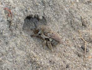 Amegilla (Asarapoda) sp