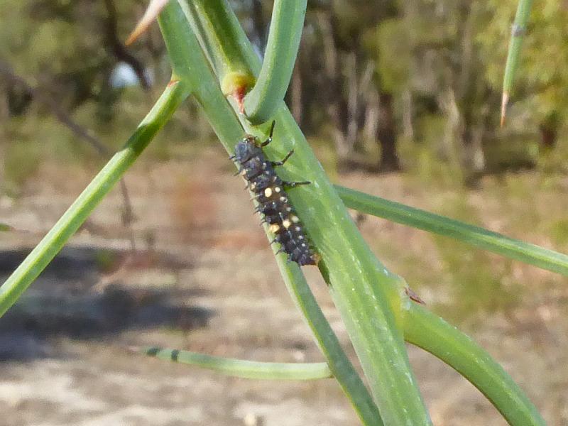 Coccinella transversalis larva