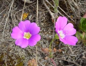 Calandrinia liniflora