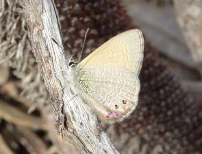 Two-spotted Line-blue, Nacaduba biocellata