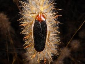 Calolampra marginalis male
