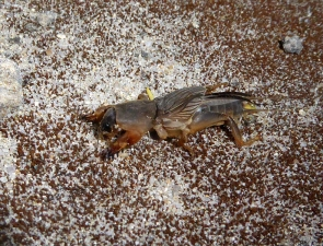 Gryllotalpa sp. Mole Cricket