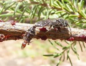 Thynnidae 5 female